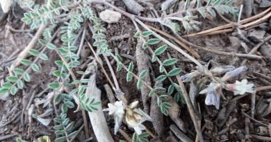 Astragalus subumbellatus