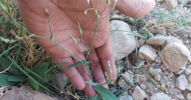 Launaea stenocephala