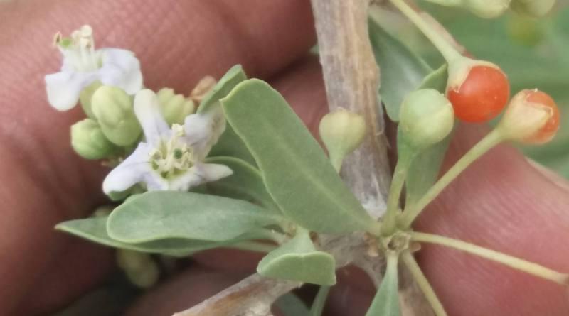 Lycium depressum ssp. angustifolium