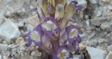 Orobanche purpurea