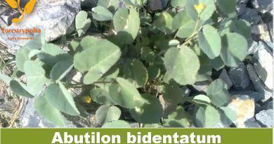 Abutilon bidentatum