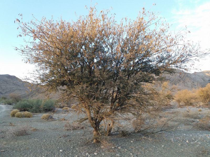 Acacia modesta - Forestrypedia