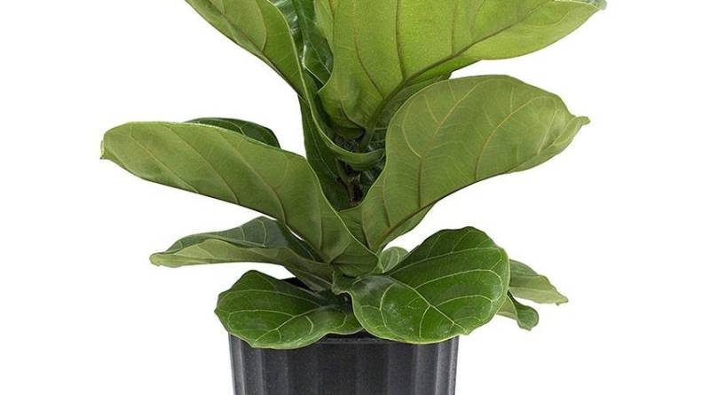 Ficus Lyrata - Air Purifier Plants