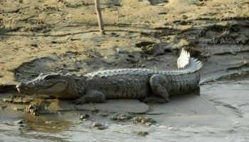 Threats to Marsh Crocodile in Hingol River