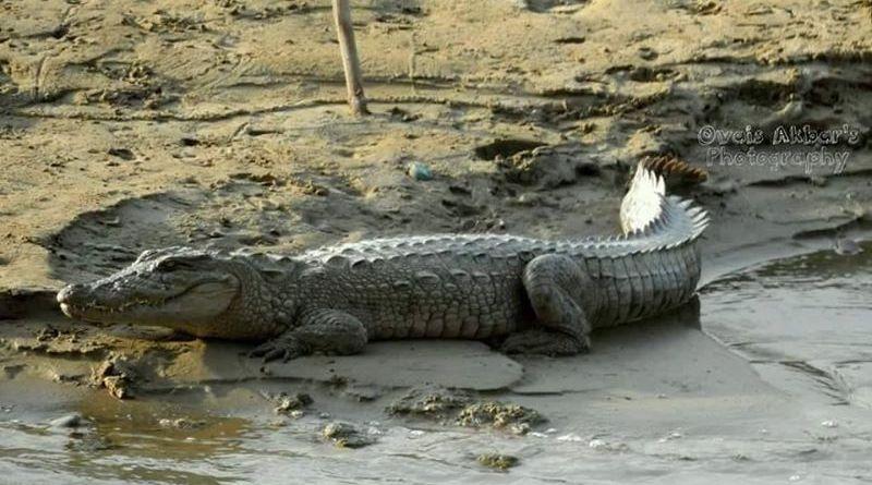 Threats to Marsh Crocodile in Hingol River