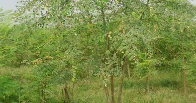 Amazing Medicinal and Health Benefits of Moringa Oleifera (Sohanjna) - forestrypedia.com