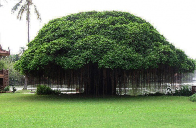 A Ficus Tree in Philippines- 14 Most Beautiful Trees in the World