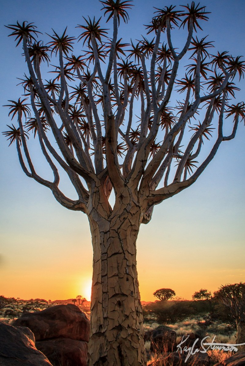 A Quiver tree, Namibia - 14 Most Beautiful Trees in the World