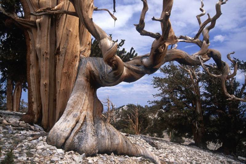Bristlecone Pine — The Oldest Trees on Earth- 14 Most Beautiful Trees in the World