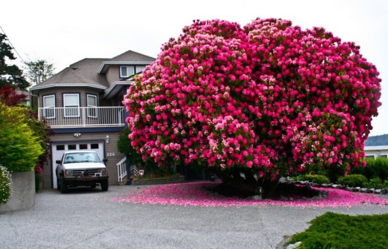 A 125-year-old Rhododendron Tree in Canada  - 14 Most Beautiful Trees in the World