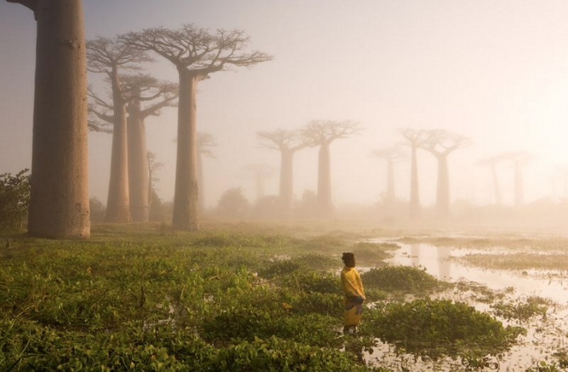 The Baobab Trees of Madagascar - 14 Most Beautiful Trees in the World