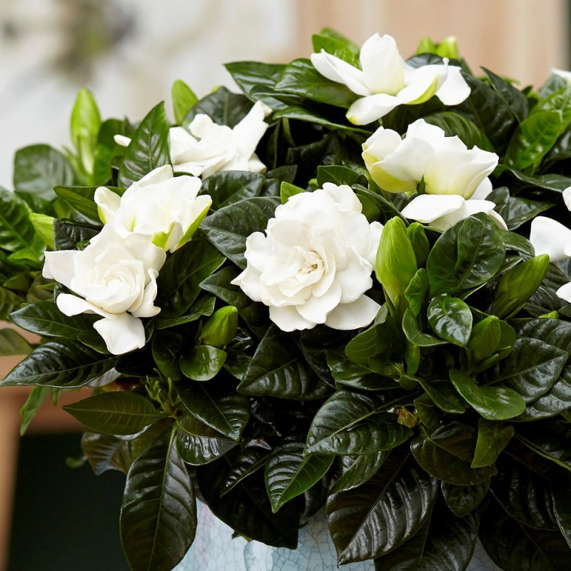 Gardenia jasminoides - 5 of The Best-Smelling House plants - Forestrypedia