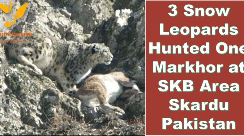 Three Snow Leopards hunted down One Markhor at SKB Area Skardu Pakistan - Forestrypedia