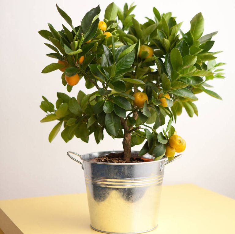 Citrus Plant - 5 of The Best-Smelling House plants - Forestrypedia