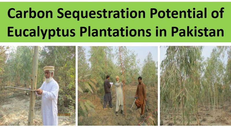 Carbon Sequestration Potential of Eucalyptus - Forestrypedia