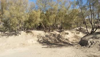 Tamarix aphylla (Gaz) Forests of Killa Saifullah Balochistan - Forestrypedia
