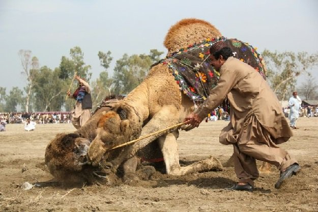 Camel Fighting - Culture or Cruelty - Forestrypedia