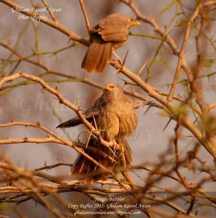 Jungle Babbler (Argya striata) - Birds of Pakistan - Forestrypedia.com