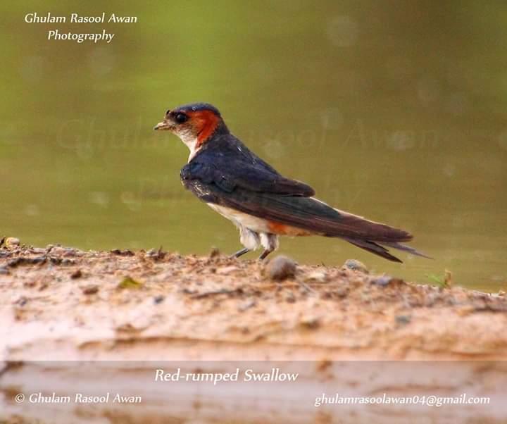 Red Rumped Swallow (Cecropis daurica) - Birds of Pakistan - forestrypedia.com