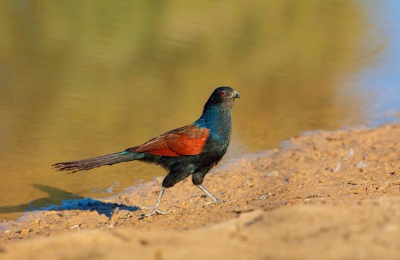 Crow Pheasant (Centropus sinensis) -forestrypedia.com