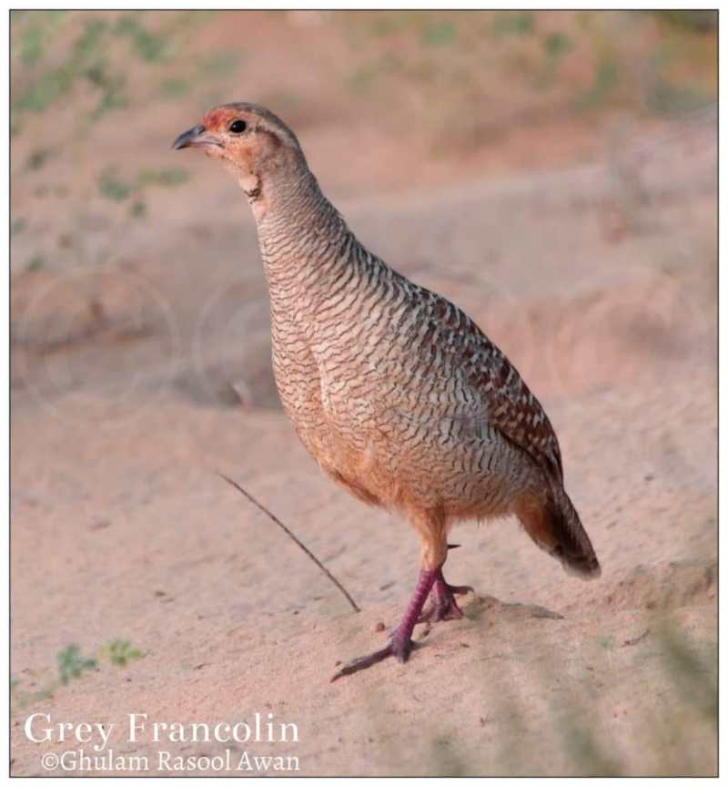 Grey Francolin (Francolinus pondicerianus)  - forestrypedia.com