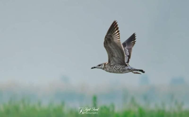 Herring Gull (Larus argentatus) - forestrypedia.com