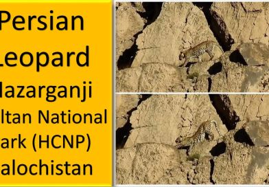 A pair of Rare & Endangered Persian Leopard Spotted in Hazarganji Chiltan National Park Balochistan - forestrypedia.com