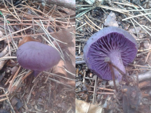 Violet Webcap