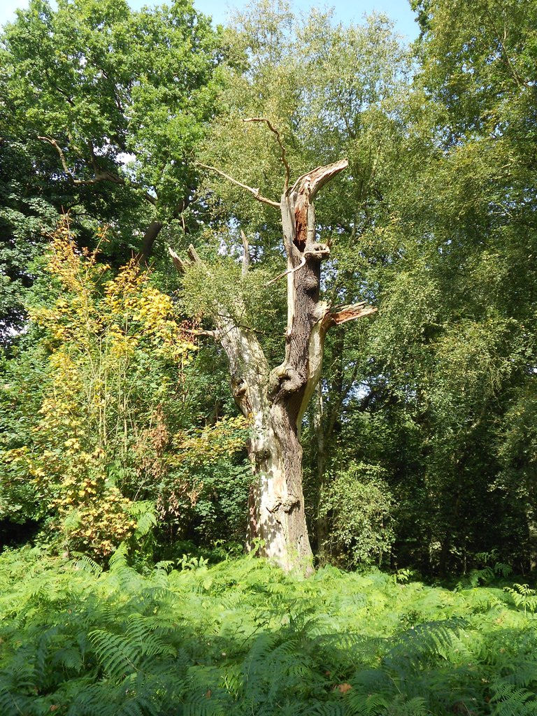 Snag of a tree struck by lightning