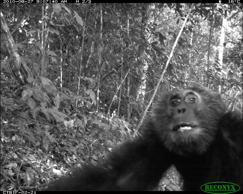 A chimpanzee curiously examines one of the cameras. The Institute of Tropical Forest Conservation, the Uganda Wildlife Authority and the Wildlife Conservation Society.