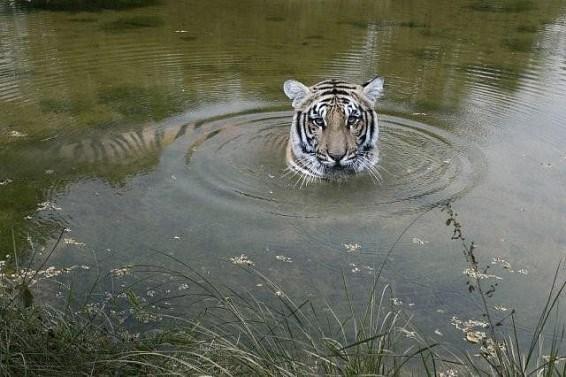 benga tiger, tiger, sumatra, agroforestry, extinction