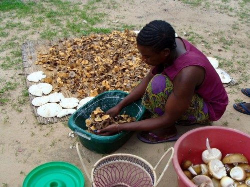 A woman prepares wild, edible mushrooms from Zambia's miombo woodlands for drying, Northwestern Zambia. CIFOR/Fiona Paumgarten