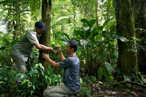CIFOR researcher Age Kridalaksana and a national park officer set up a camera trap in Gunung Halimun-Salak National Park. Mokhamad Edliadi/CIFOR