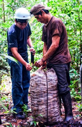 El estudiante universitario Hideki Kohagura Arrunatogui trabaja con el recolector Serapio Condori Daza para pesar las nueces producidas por un árbol. Marco Simola/ CIFOR