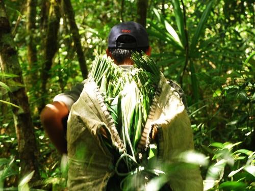 """""""Xatero"""" (persona que colecta la palma) en la Reserva de la Biosfera Maya, Guatemala. Fotografia cortesía de Charlie Watson (USAID/Rainforest Alliance Forestry Enterprises)."""