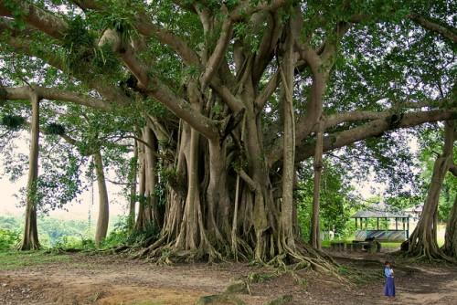 Para ilmuwan meneliti data lebih dari 190.000 pohon, berdiameter sekurangnya 10 sentimeter di 120 lokasi dataran rendah hutan tua berlembab di Amerika Selatan, Afrika dan Asia. Photo kredit: CIFOR/Terry Sunderland