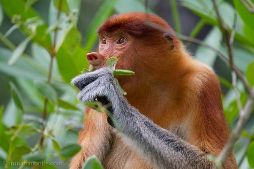Local people can provide urgently needed biodiversity data, such as sightings of the Proboscis Monkey (pictured). Paul Williams