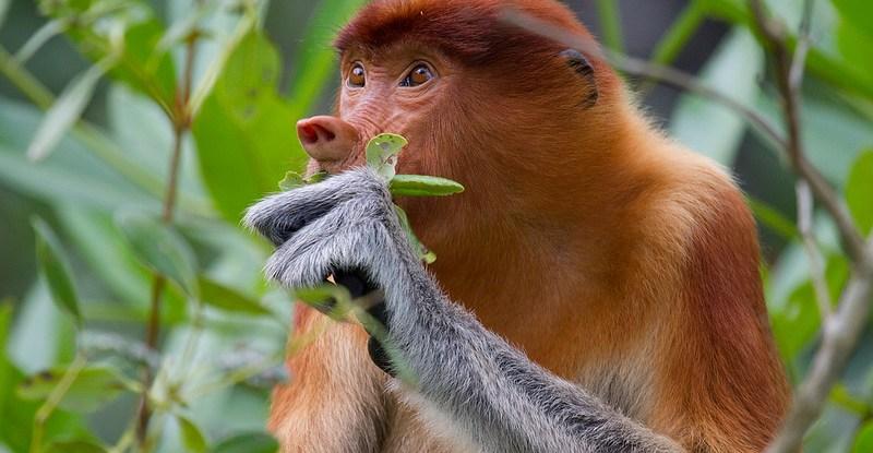 proboscis monkey, biodiversity, kalimantan, borneo