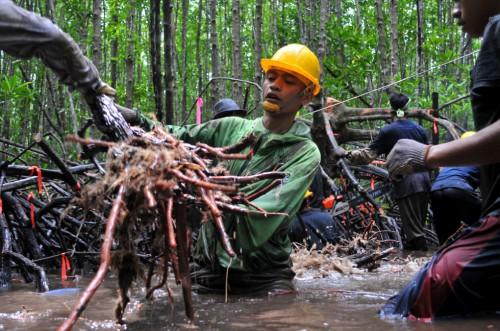 Investigadores miden raíces de mangle en Indonesia. Es posible que la tala selectiva y sostenible de manglares pueda practicarse y a la vez retener gran parte de su carbono, y salvarlos de destinos peores. Haga clic aquí para leer más. Foto Kate Evans/CIFOR.