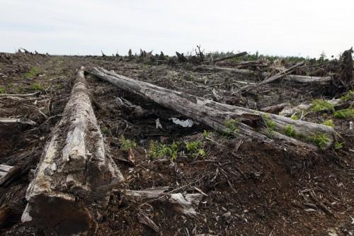 Terreno destruido para el cultivo  de palma aceitera en un pantano de turba en la provincia de Aceh, Indonesia. Las turberas tropicales almacenan inmensas cantidades de carbono que han sido acumuladas durante miles de años. Fotografía: Dita Alangkara / CIFOR.