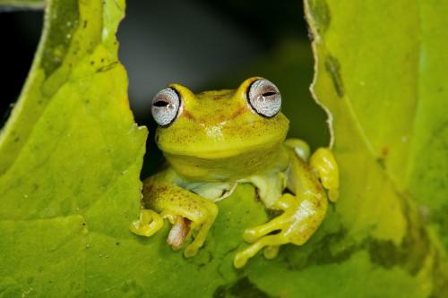 Una rana arborícola en el Parque Nacional del Manú, en la Amazonia peruana. Las políticas destinadas a proteger áreas con servicios ecosistémicos de alto valor económico podrían estar excluyendo lugares con mayor biodiversidad, según una investigación. Fotografía Michael Tweddle.