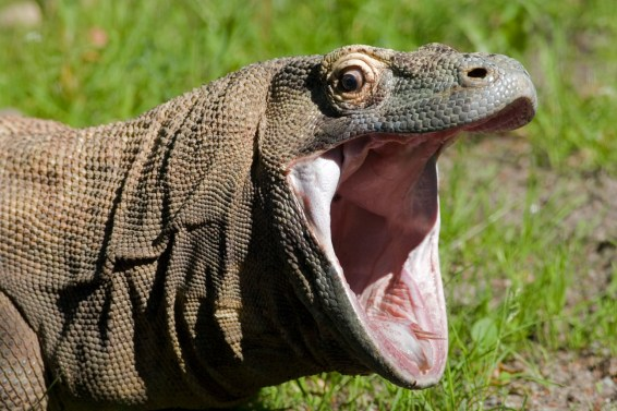 komodo dragon, wildlife trafficking, indonesia, illegal pets