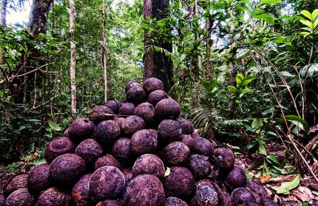 Noix du Brésil vs Abattage du bois: Le dilemme de l'Amazonie