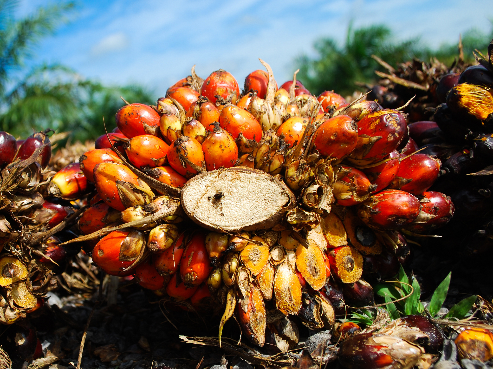 Financing farmers: Can funds for oil palm help save our forests?