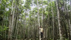 Tree plantations could help Peru meet forest restoration goal