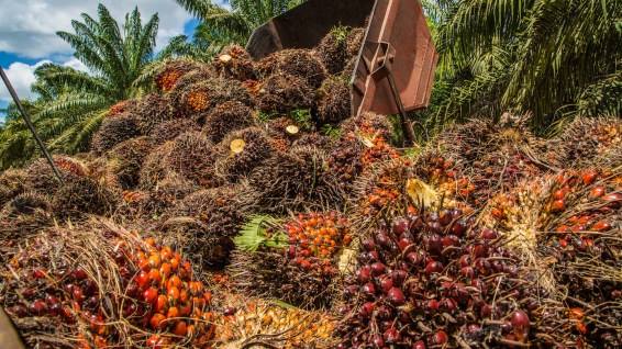 palm oil, oil palm, EU phase out, biofuel