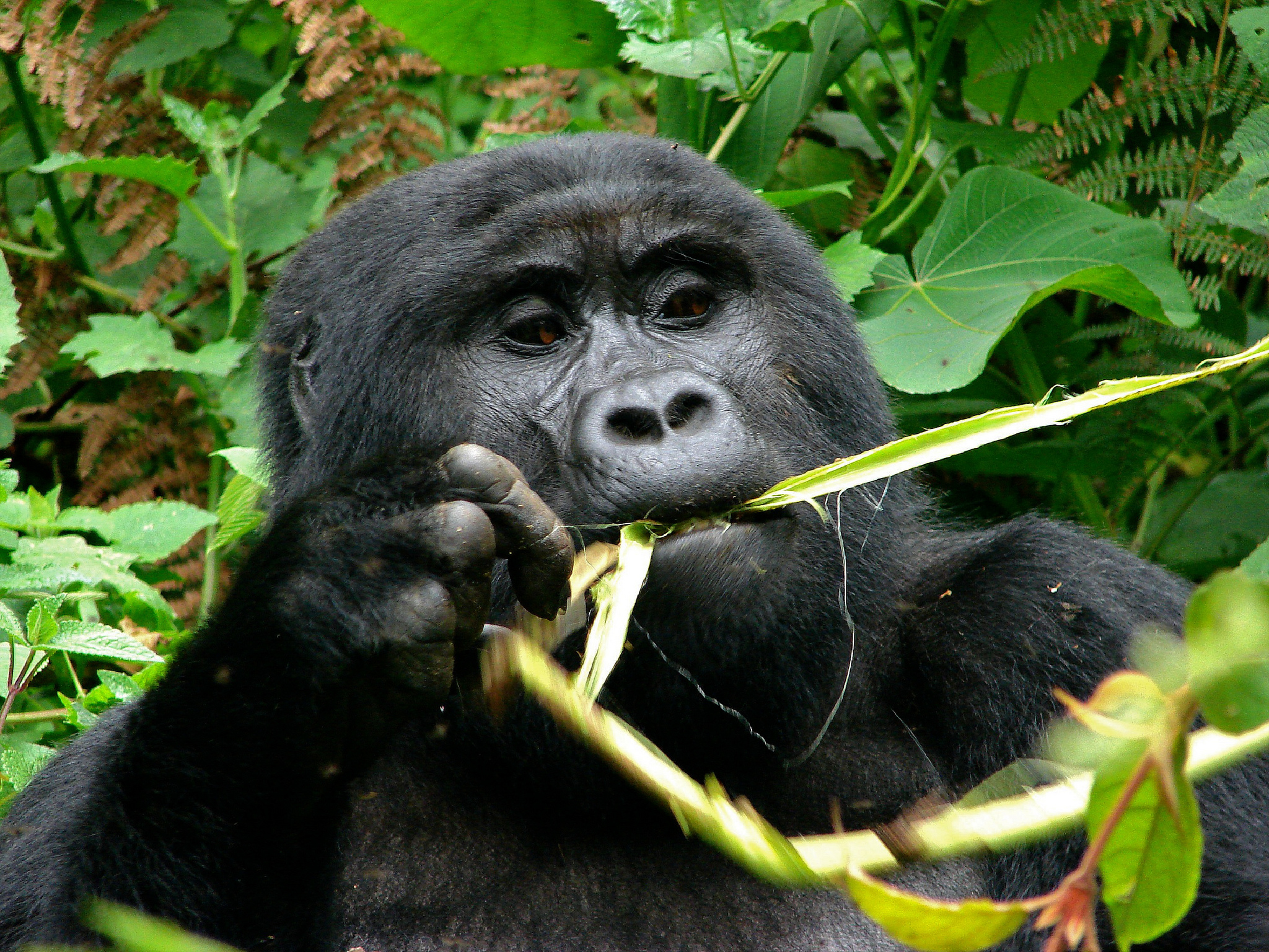 Taste for gorilla and chimp meat fuels illicit trade