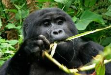 Taste for gorilla and chimp meat fuels illicit trade