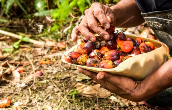oil palm, palm oil, malaysia indonesia, EU, european commission, protectionism, bioenergy, palm oil phase out