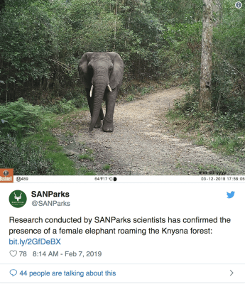 Lonely elephant in Kysna Forest, South Africa, elephant alone